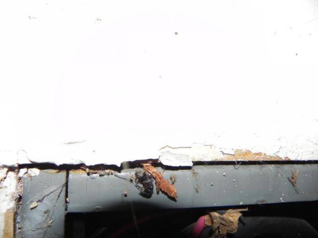 Carpenter Ant in main panel